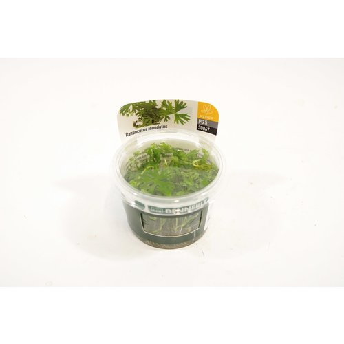 Dennerle Dennerle Ranunculus Inundatus - In Vitro