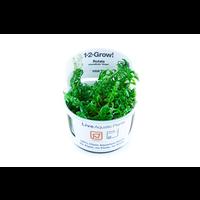 Rotala Rotundifolia 'Green' 1-2-Gow!