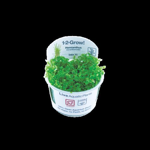 Hemianthus Micranthemoides 1-2-Grow!