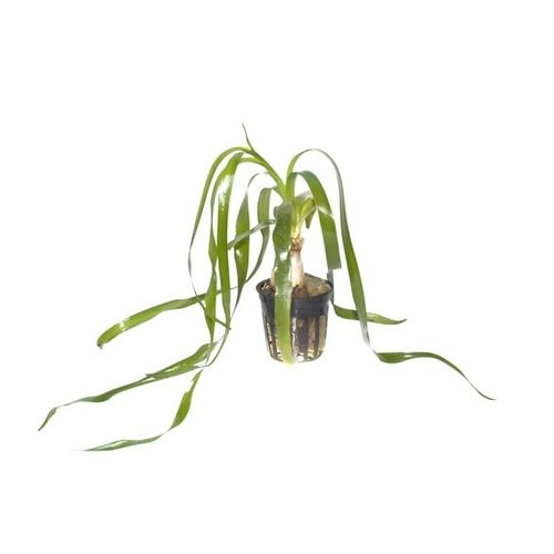 Tropica Crinum Thaianum