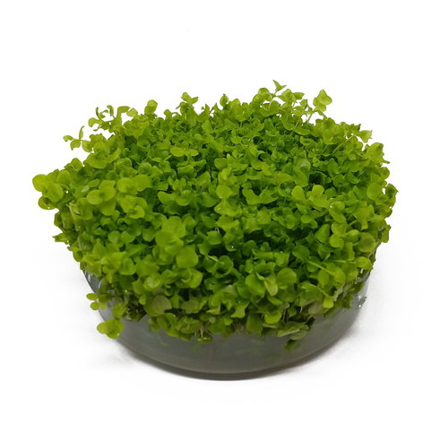 Micranthemum Umbrosum - In Vitro XL