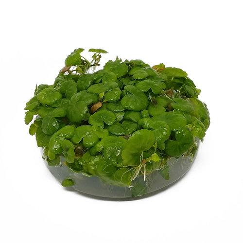 Hydrocotyle Leucocephala - In Vitro XL