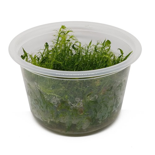 Bacopa Myriophyloides - In Vitro XL