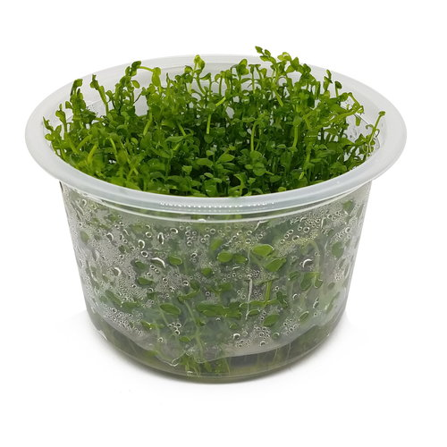 Bacopa Monnieri - In Vitro XL