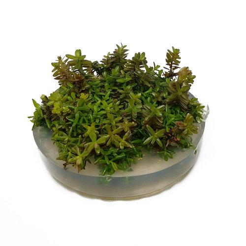 Rotala Rotundifolia - In Vitro XL