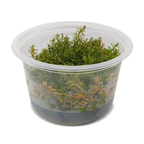 Rotala Rotundifolia 'Periya' - In Vitro XL
