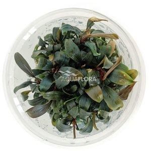 Ecoscape Bucephalandra 'Brownie Ghost' - In Vitro