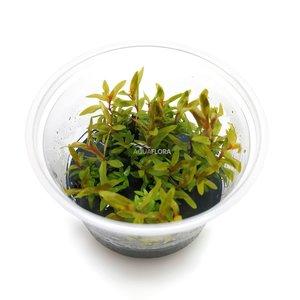 Ecoscape Nesaea Pedicellata 'Golden' - In Vitro