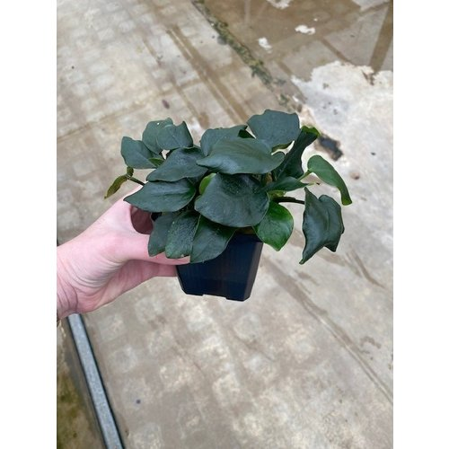 Anubias Nana 'Thick Leaf' XL