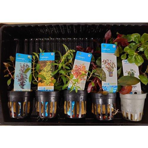 Ludwigia Aquariumplanten Mix