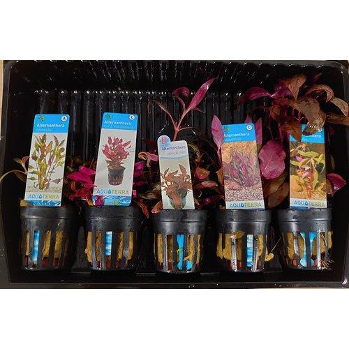 Alternanthera Aquariumplanten Mix
