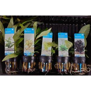 Hygrophila Aquariumplanten Mix