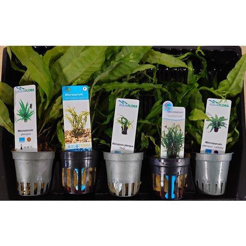 Microsorum Aquariumplanten Mix
