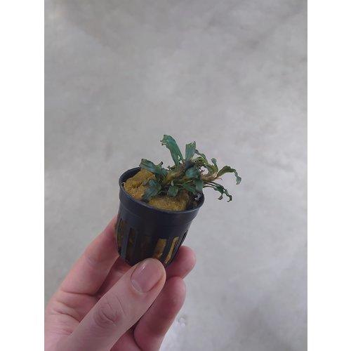 Bucephalandra Velvet Lead Entihong