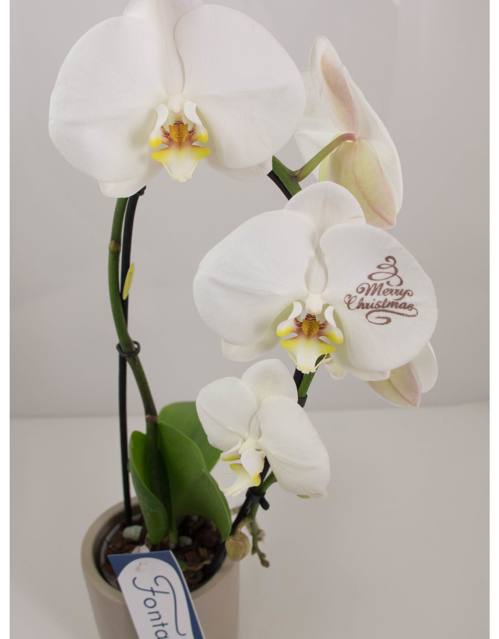 Orchidee - Merry christmas