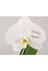 Orchidee - Forever special