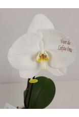 Orchidee - Voor de liefste oma