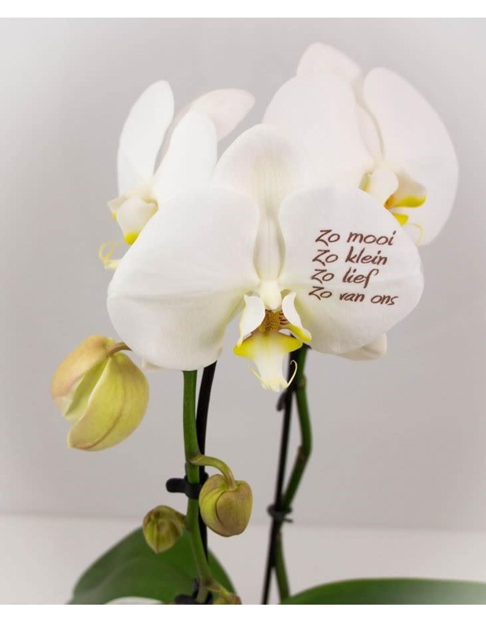 Orchidee - zo mooi, zo klein