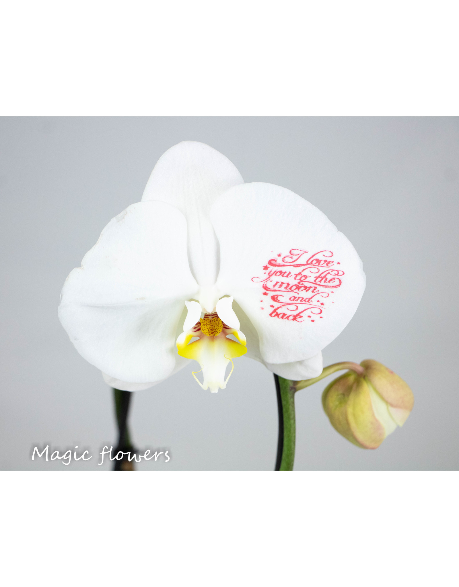 Orchidee - I love you to the moon and back