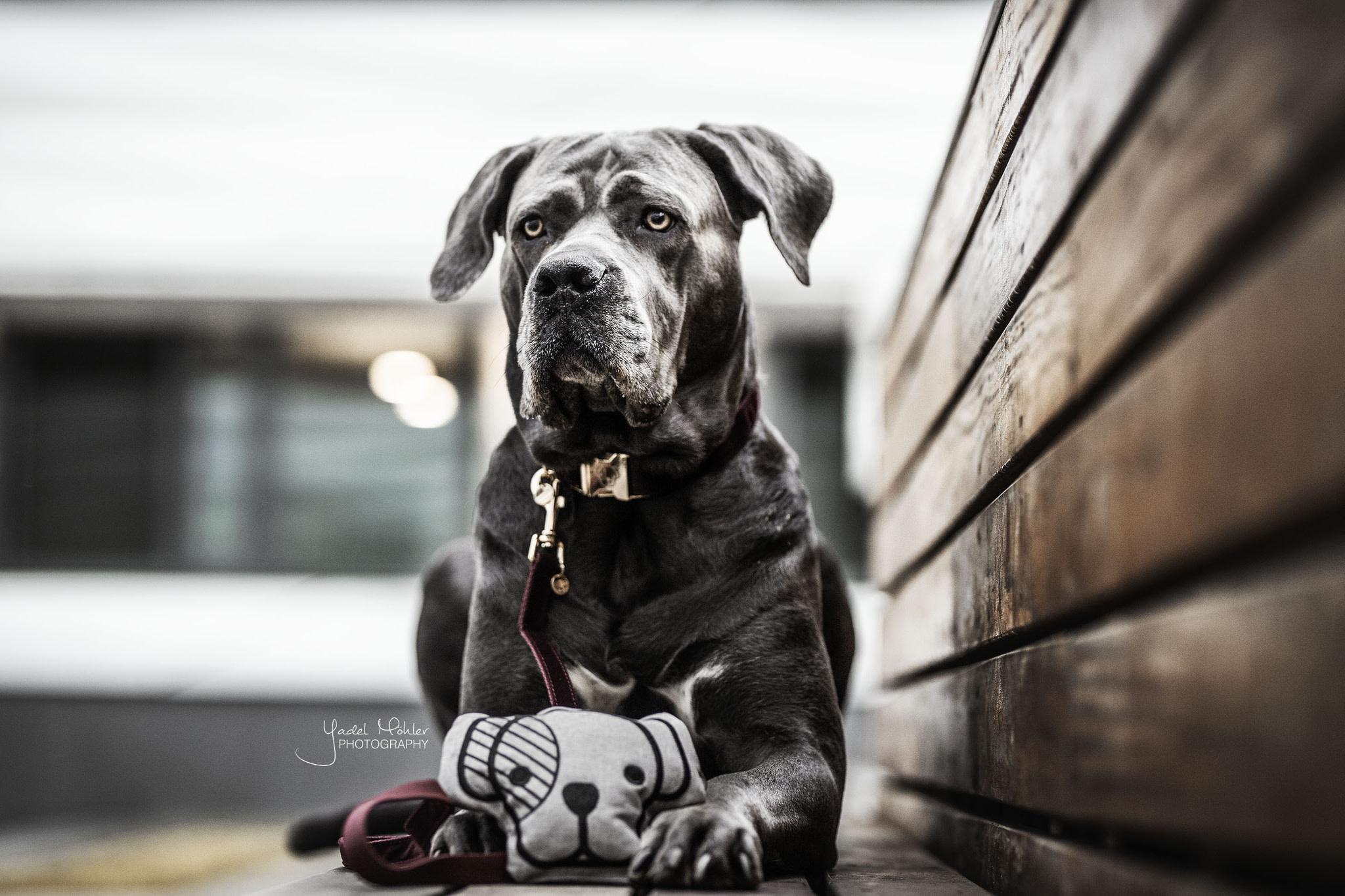 Kentucky Kentucky hondenspeeltje Dog Head