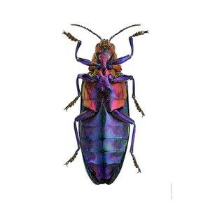 Liljebergs Liljebergs Chrysochroa Buqueti Rugicollis, underside