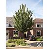 Boomkwekerij M. van den Oever Acer campestre 'Elsrijk' | Veldesdoorn | Spaanse Aak