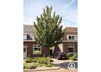 Boomkwekerij M. van den Oever Acer Campestre 'Elsrijk'