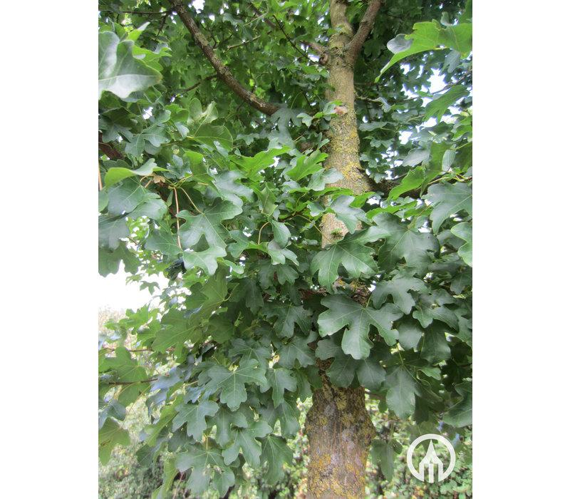 Acer campestre 'Elsrijk' | Veldesdoorn | Spaanse Aak