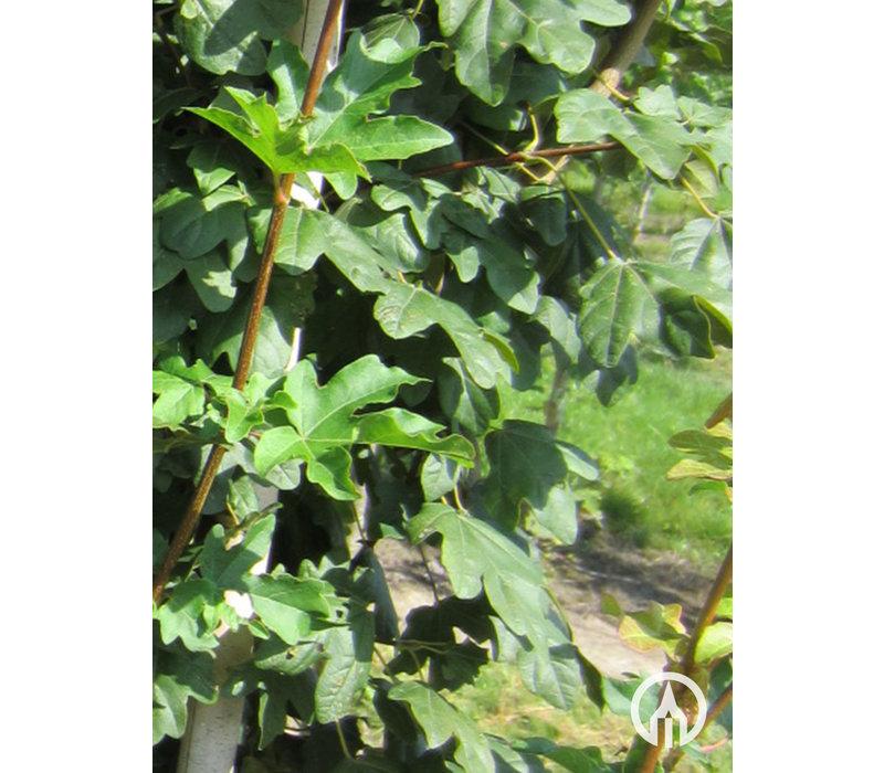 Acer campestre 'Lienco'