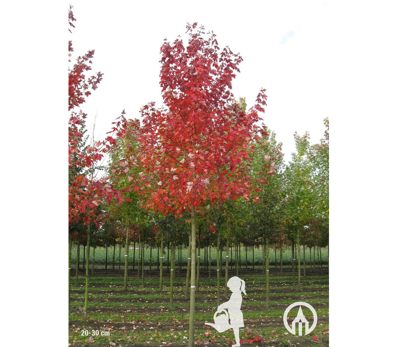Acer x  freemanii 'Jeffersred'  | Autumn Blaze