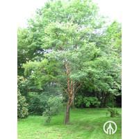 Acer griseum | Papieresdoorn