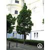 Boomkwekerij M. van den Oever Acer platanoides 'Columnare' | Noorse Esdoorn