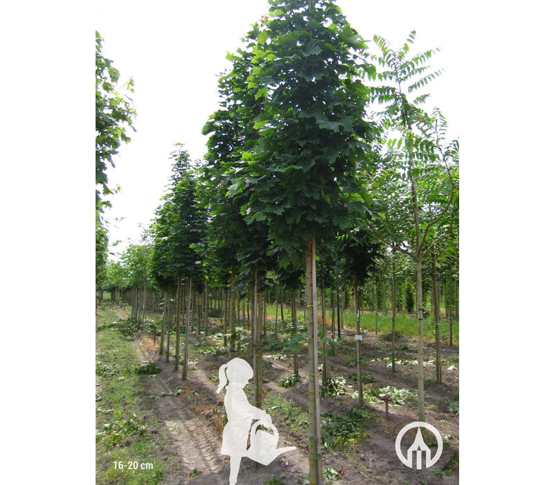 Acer platanoides 'Columnare' | Noorse Esdoorn
