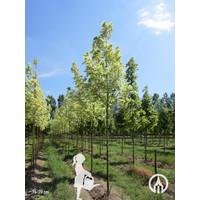 Acer platanoides 'Drummondii' | Bonte Esdoorn