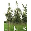 Boomkwekerij M. van den Oever Acer platanoides 'Emerald Queen' | Noorse Esdoorn