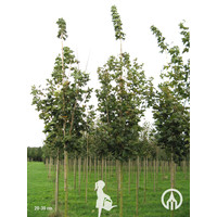 Acer platanoides 'Emerald Queen' | Noorse Esdoorn
