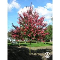 Acer rubrum 'Autumn Flame' | Rode Esdoorn