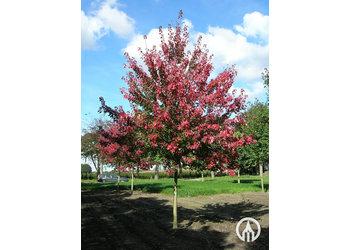 Boomkwekerij M. van den Oever Acer Rubrum 'Autumn Flame'