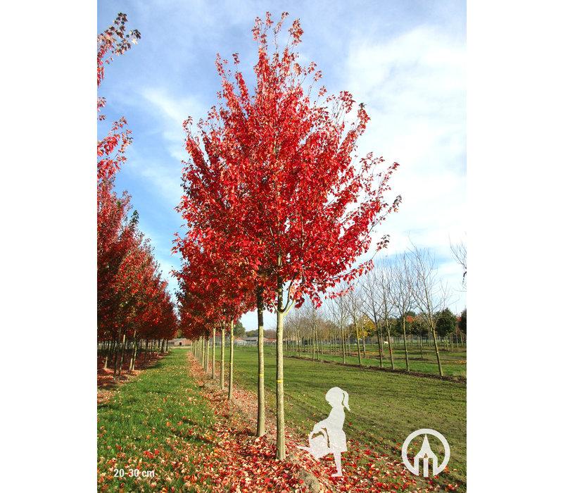 Acer rubrum 'Franksred' | Red Sunset