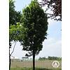 Boomkwekerij M. van den Oever Acer rubrum 'Karpick' | Rode Esdoorn