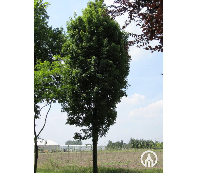 Acer rubrum 'Karpick' | Rode Esdoorn