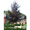 Boomkwekerij M. van den Oever Acer platanoides 'Royal Red' | Noorse Esdoorn