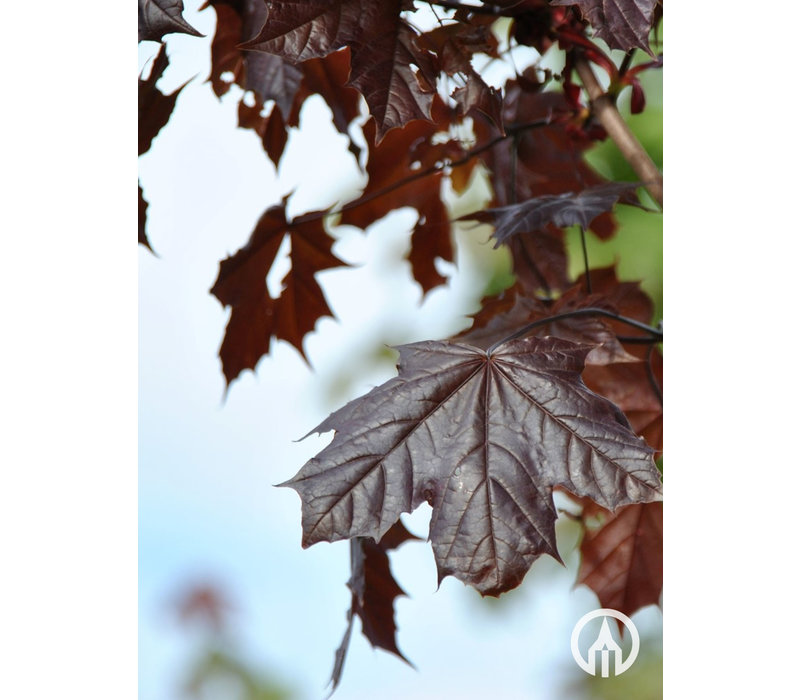 Acer platanoides 'Royal Red' | Noorse Esdoorn
