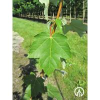 Acer rubrum 'Scanlon' | Rode Esdoorn