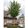 Boomkwekerij M. van den Oever Acer rubrum 'Scanlon' | Rode Esdoorn