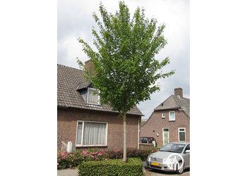 Boomkwekerij M. van den Oever Acer Rubrum 'Scanlon'