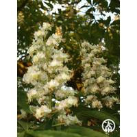 Aesculus hippocastanum | Witte Paardenkastanje