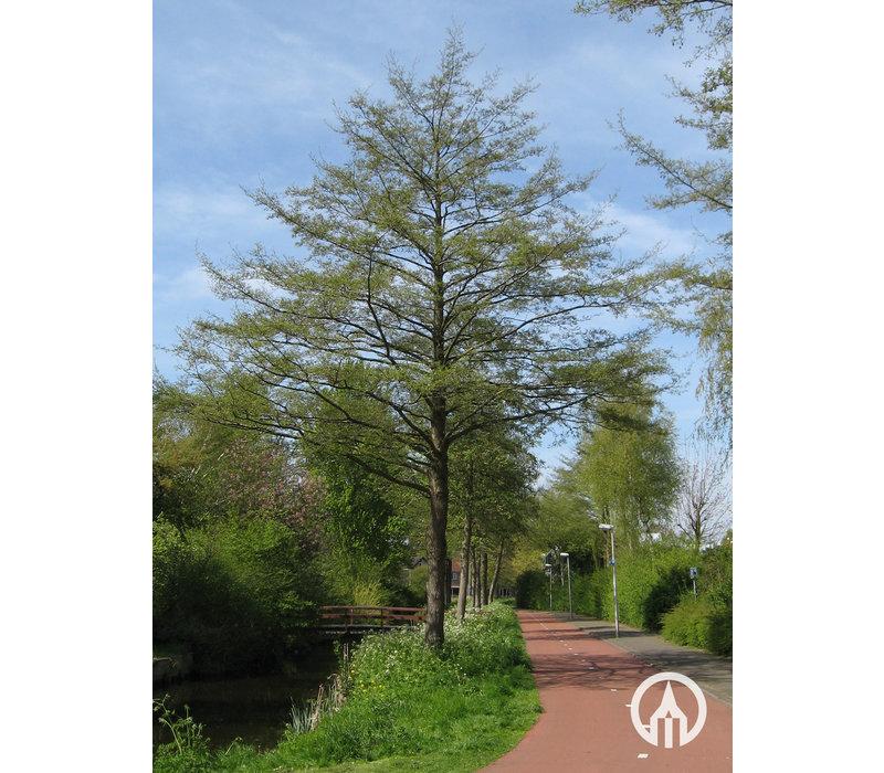 Alnus glutinosa 'Laciniata' | Zwarte Els