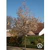 Boomkwekerij M. van den Oever Amelanchier arborea 'Robin Hill' | Krentenboomje