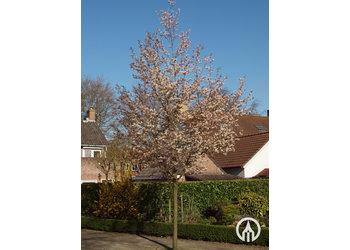 Boomkwekerij M. van den Oever Amelanchier Arborea 'Robin Hill'